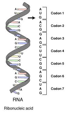 RNA-codons